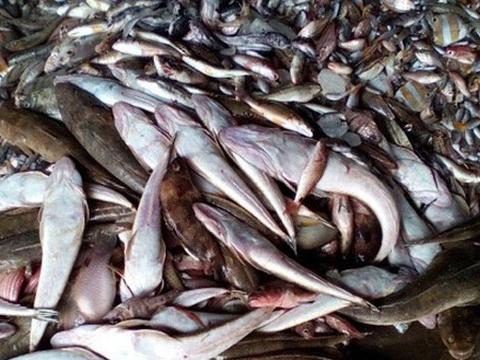 Cá chết hàng loạt ở biển miền Trung.